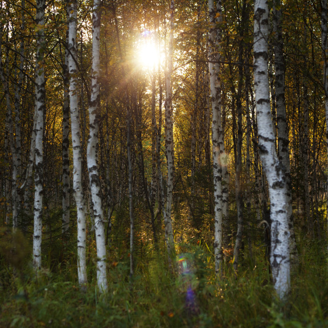 """""""Sun shinning through trees in forest"""" stock image"""