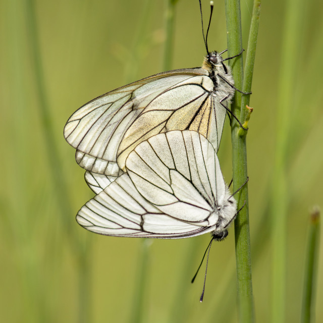 """Black-veined White, Aporia crataegi, butterflies mating, spain."" stock image"