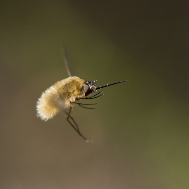 """Large Bee-Fly (bombylius major) in flight, Spain."" stock image"