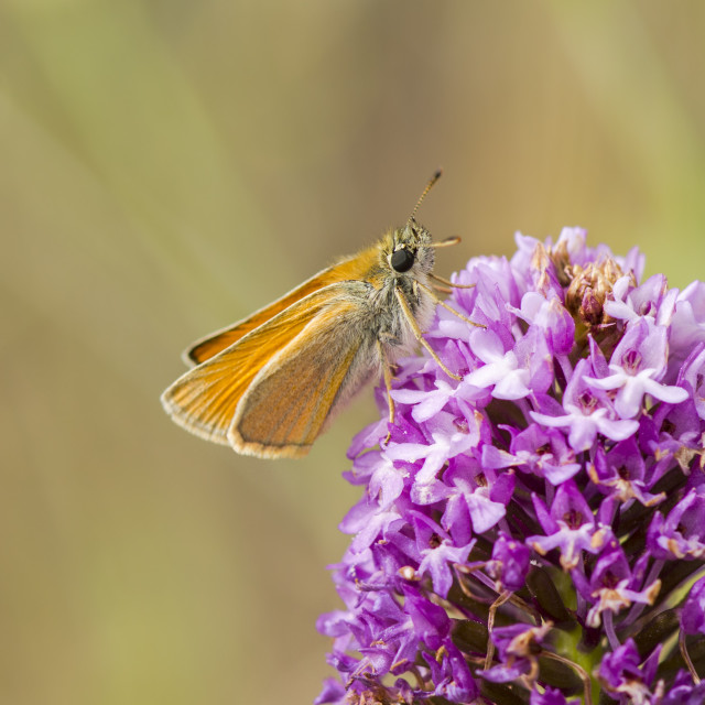 """Essex skipper on Pyramidal orchid"" stock image"