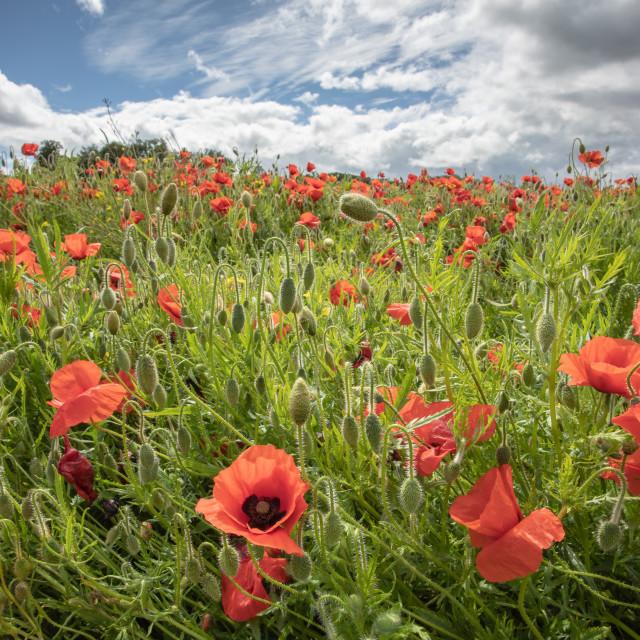 """""""Devon Poppies"""" stock image"""