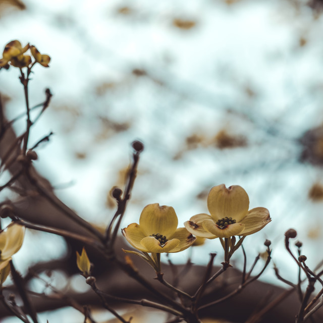 """""""Moody cherokee chief dogwood white flower blossoms in spring"""" stock image"""