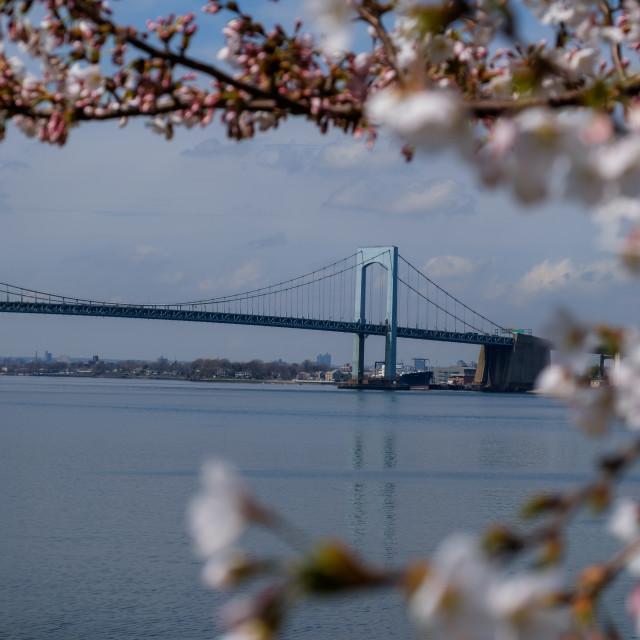 """Throgs Neck Bridge viewed through blossoming tree in spring"" stock image"