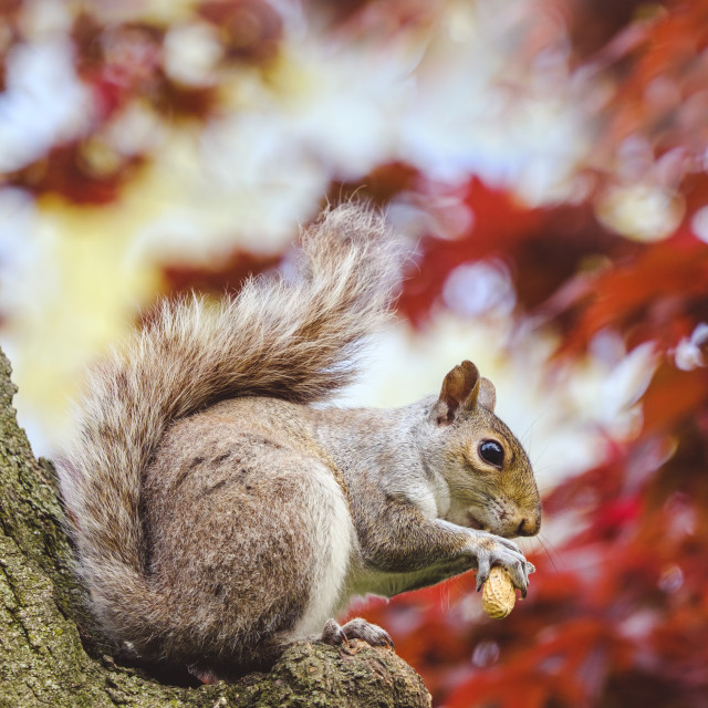 """""""Gray squirrel eating peanut up in a tree"""" stock image"""