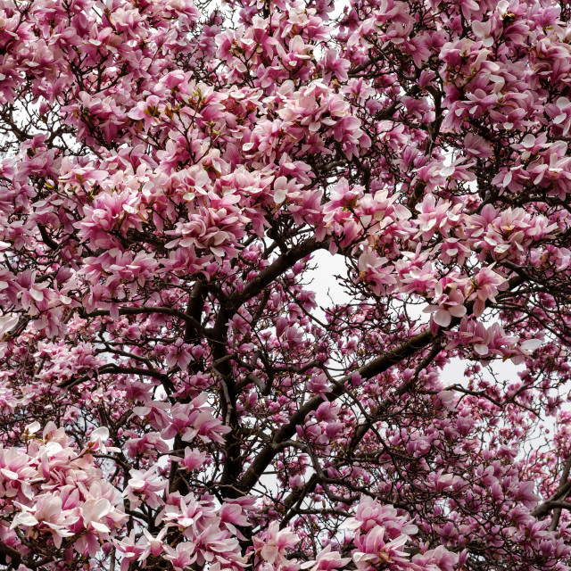 """""""Tulip Magnolia tree blossoming in spring"""" stock image"""