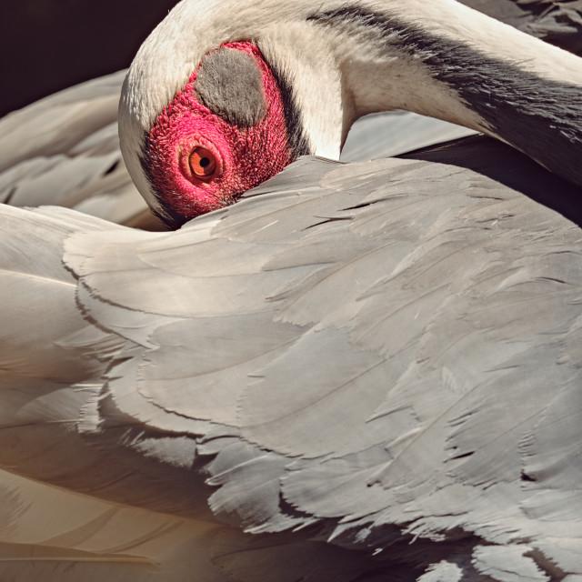 """""""White-naped crane with beak under its wing"""" stock image"""