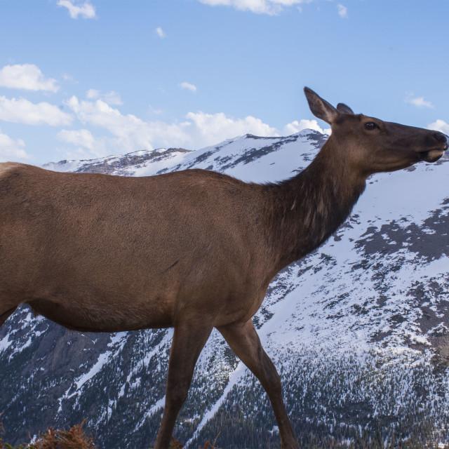 """Rocky Mountain Elk"" stock image"