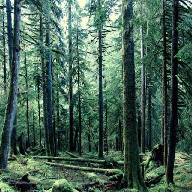 """""""Quinault Rainforest"""" stock image"""