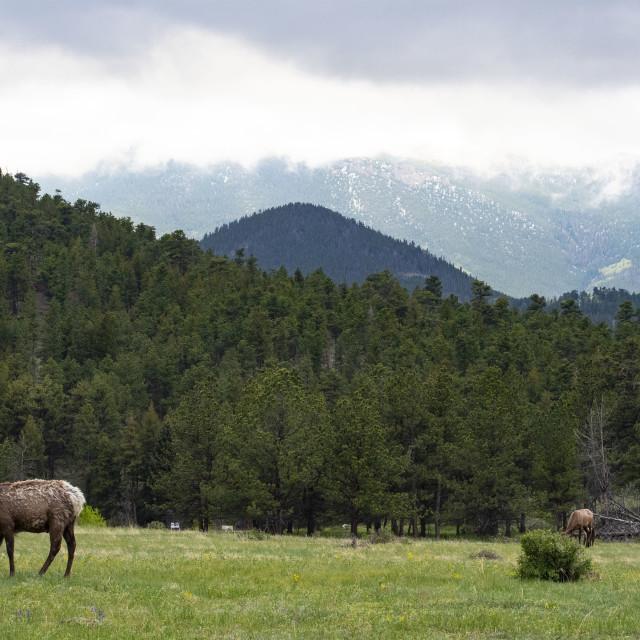 """Rocky Mountain Elk grazing #4"" stock image"