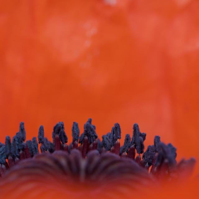 """""""Summer Poppy"""" stock image"""