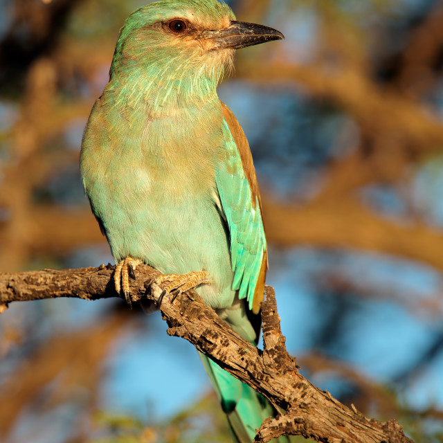 """""""European roller on a branch"""" stock image"""