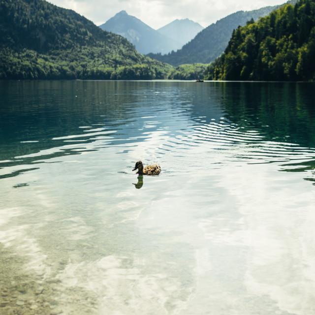 """Duck In Mountain Lake"" stock image"