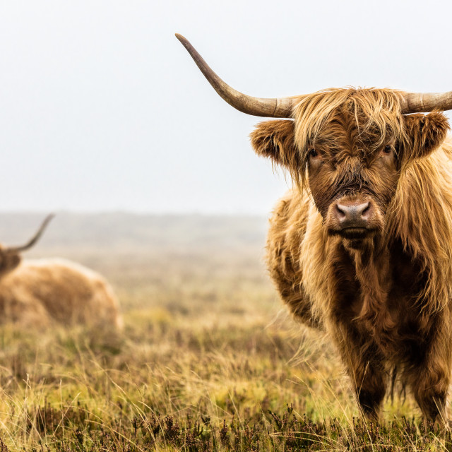 """Highland Pair"" stock image"