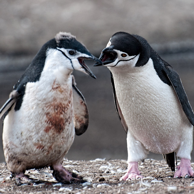 """""""Young Chinstrap Penguins"""" stock image"""