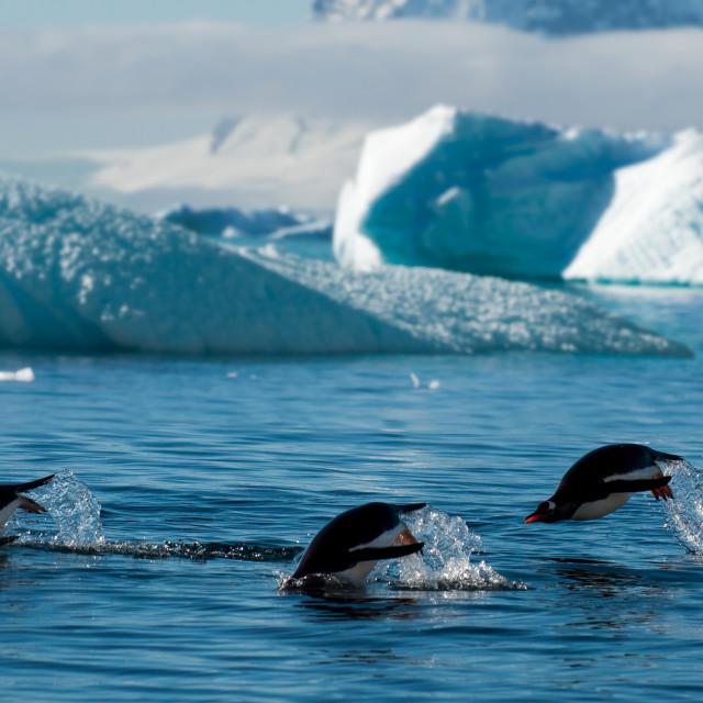 """Gentoo penguins"" stock image"