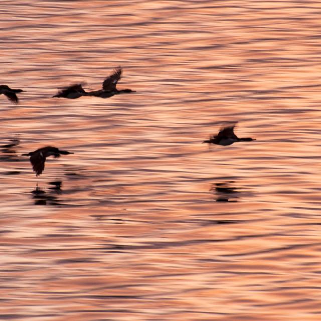 """""""Blue Eyed Shag flying at sunset"""" stock image"""