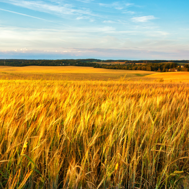 """""""Gold Wheat flied panorama with village on background, rural coun"""" stock image"""