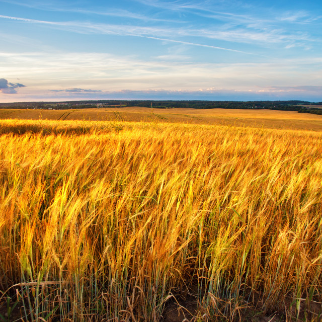 """""""Sunset on the crop field. Belarus, rural countryside."""" stock image"""
