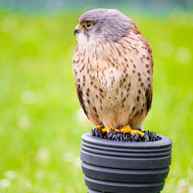 """A captive kestrel perching"" stock image"