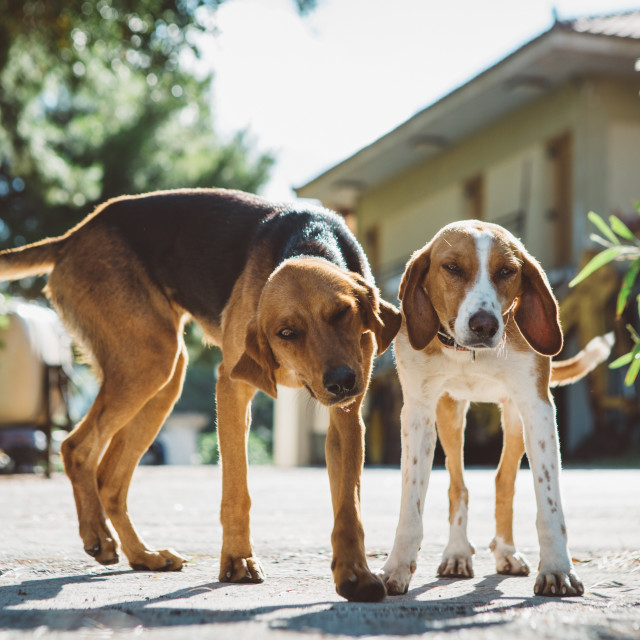 """Two curious mongrel dogs on the backyard of greece house"" stock image"