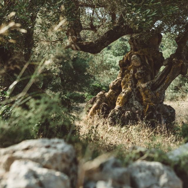 """Old olive tree in the olive grove in Greece on the Zakynthos island"" stock image"