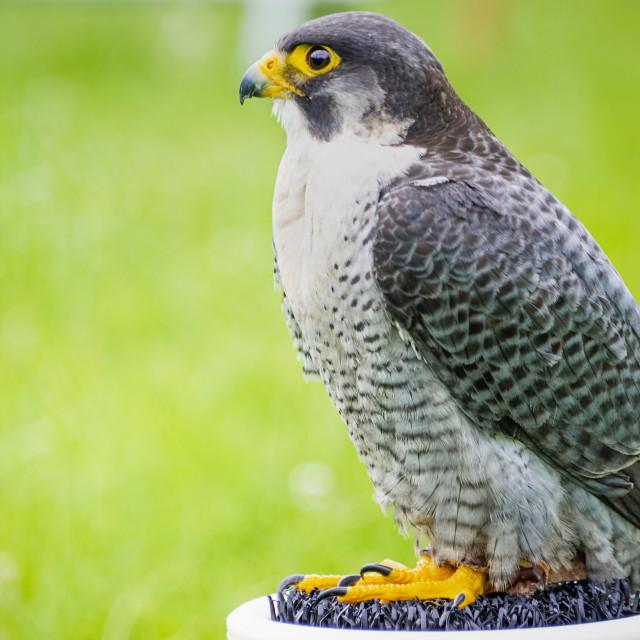 """""""Perigrine Falcon (Falco peregrinus)"""" stock image"""