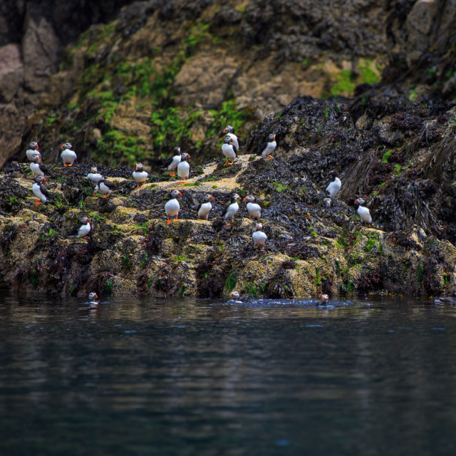 """Group of Atlantic Puffins"" stock image"