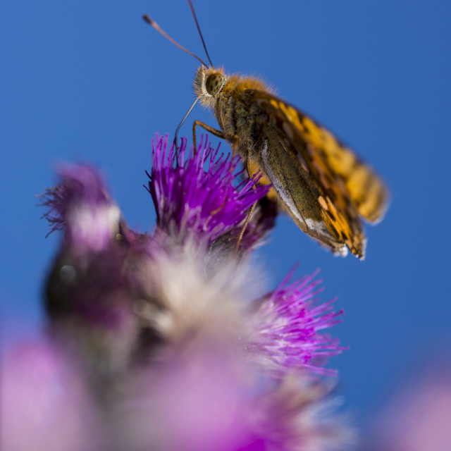"""Fritillary butterfly"" stock image"