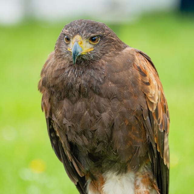 """""""A Harris's hawk (Parabuteo unicinctus)"""" stock image"""