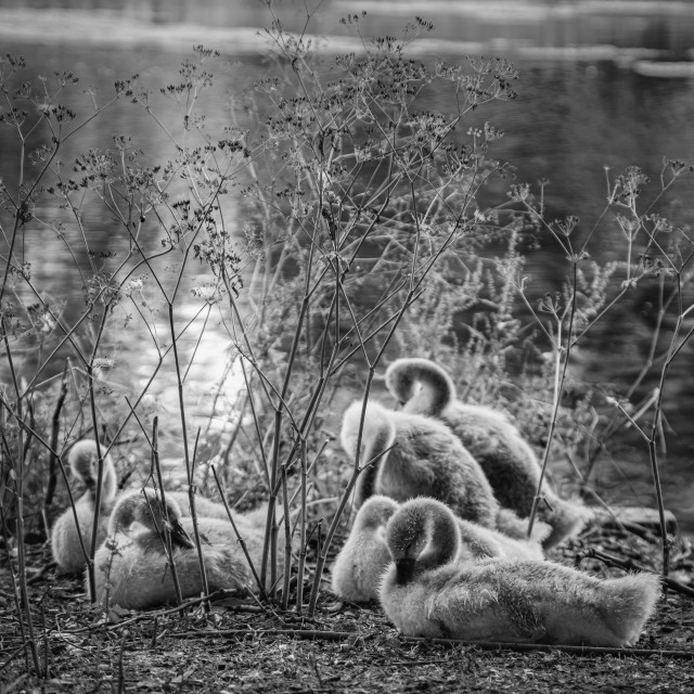 """Cygnets in St James"" stock image"