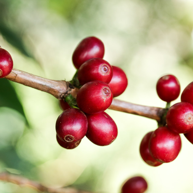 """Ripe beans in a Brazilian arabica coffee crop"" stock image"