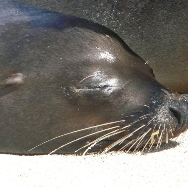 """Sea Lion Asleep"" stock image"