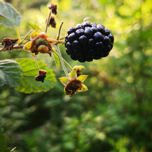 """Blackberries"" stock image"