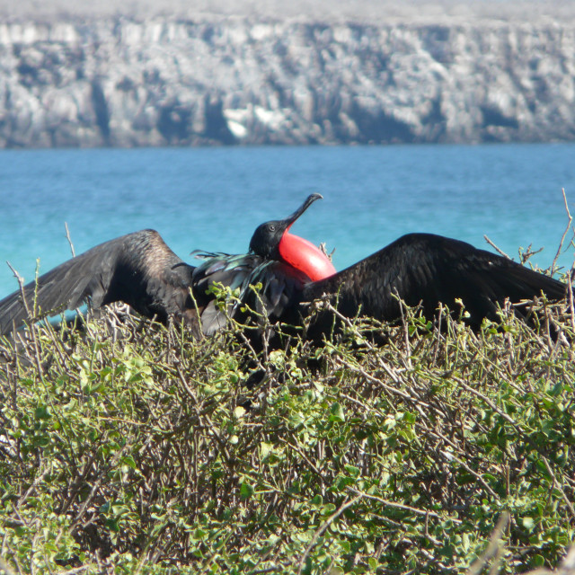 """Great Frigatebird and Darwin Bay"" stock image"