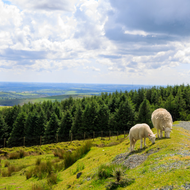 """Preseli Mountain Sheep"" stock image"