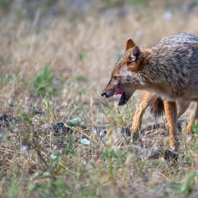 """European jackal - Canis aureus moreoticus"" stock image"