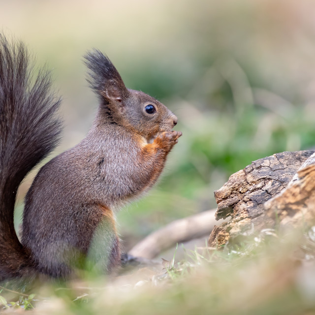 """Red Squirrel - Sciurus vulgaris"" stock image"
