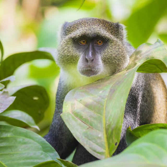 """Wild blue or diademed monkey Cercopithecus mitis primate in a evergreen..."" stock image"