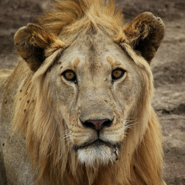 """Lion on the serengeti"" stock image"