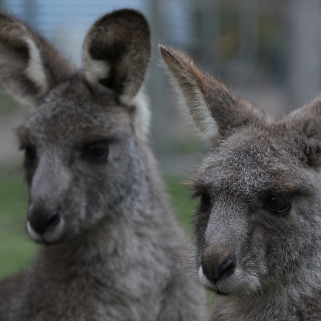 """""""Eastern Grey Kangaroo"""" stock image"""