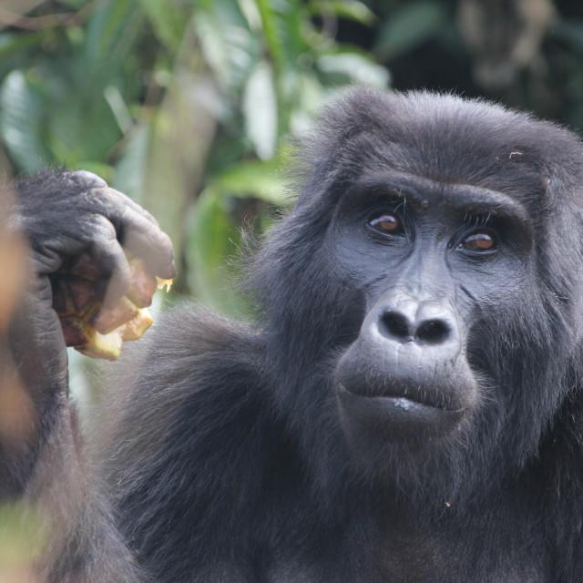 """Mountain gorilla in Bwindi"" stock image"