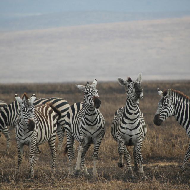 """""""Zebra, Ngorogoro"""" stock image"""
