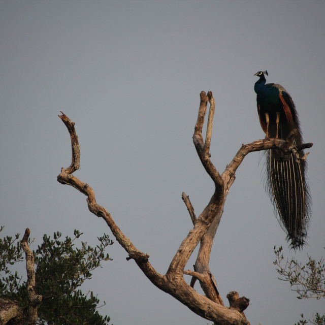 """Peacock, Wilpattu"" stock image"