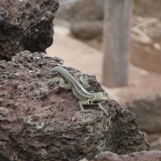 """""""Lava Lizard at Charles Darwin Research Station"""" stock image"""