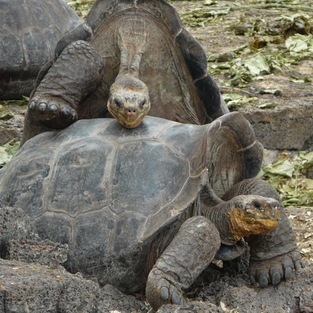 """Galapagos Tortoises at Charles Darwin Research Station"" stock image"