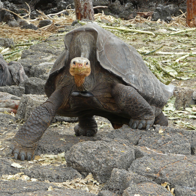 """""""Galapagos Tortoise on the Move"""" stock image"""