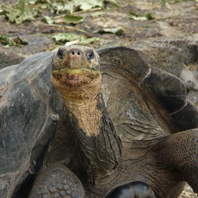 """Galapagos Tortoise Looking at Camera"" stock image"