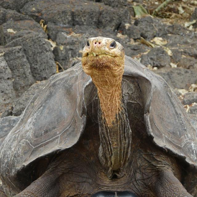 """Galapagos Tortoise Looking at Camera 2"" stock image"