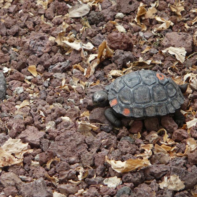 """Baby Galapagos Tortoise"" stock image"