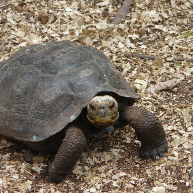 """Young Galapagos Tortoise"" stock image"
